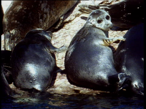Two Baikal seals lying in row as they scratch each others backs with their flippers whilst lying on a rocky shore. Lake Baikal