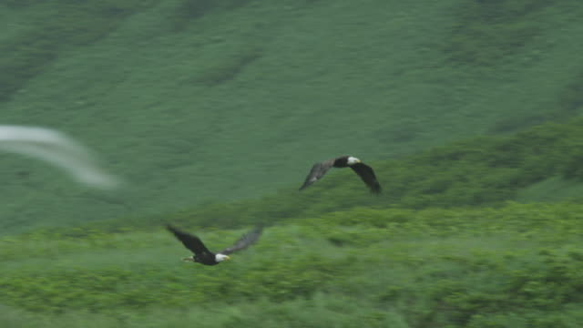 two bald eagles fly in front of green hill, mcneil river game range, alaska, 2011 - bald eagle stock videos & royalty-free footage