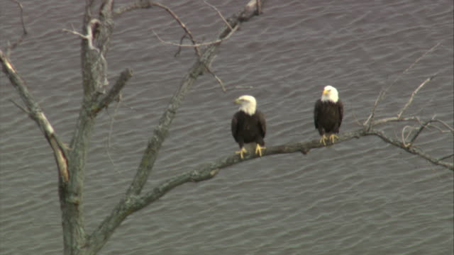 aerial two bald eagles perching on a tree branch / new york, united states - appollaiarsi video stock e b–roll