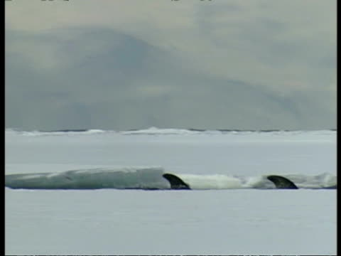 MS two Baleen whales swim by amongst ice, Antarctica
