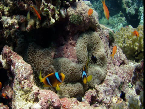 Two bar anemonefish and Scalefin anthias swim amongst anemone tentacles
