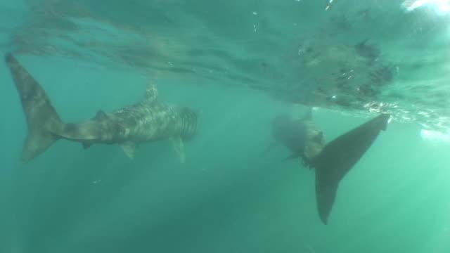 vídeos y material grabado en eventos de stock de two basking sharks, cetorrhinus maximus. sennen cove, cornwall, u.k. - peregrino