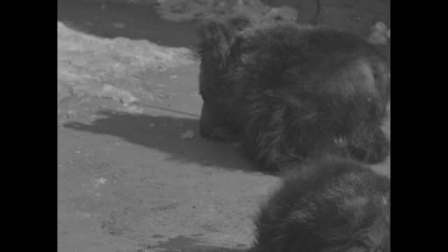 two bear cubs eating from food bowls at the bronx zoo one wanders away / man tries to shoo cub back but it growls at him he picks it up and puts it... - bronx zoo stock-videos und b-roll-filmmaterial