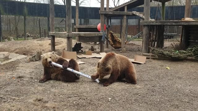 two bear cubs have received farewell presents from keepers as they prepare for an adventure to pastures new. furry siblings mish and lucy have become... - pasture stock videos & royalty-free footage