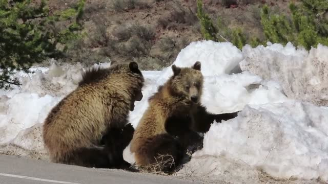 two bear cubs were spotted relaxing near a large snow pile in wyoming's grand tetons national park on april 13. this footage, shot by cindy shaffer... - tag 1 stock-videos und b-roll-filmmaterial