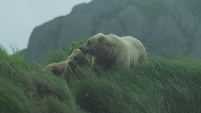 two bears on grassy hill in wind, mcneil river game range, alaska, 2011 - hill点の映像素材/bロール