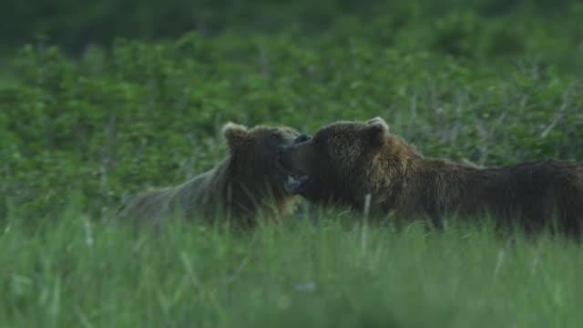 Two bears tussle on grassy hill, McNeil River Game Range, Alaska, 2011