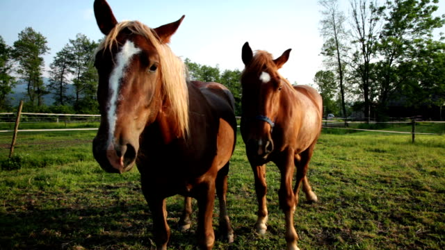 hd: two beautiful horses - two animals stock videos & royalty-free footage