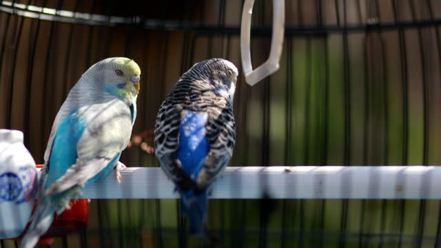 two beautiful parakeets standing in their birdcage - budgerigar stock videos & royalty-free footage