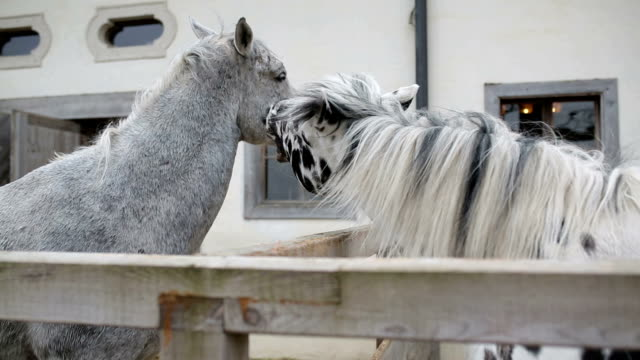 Two beautiful white horses playing