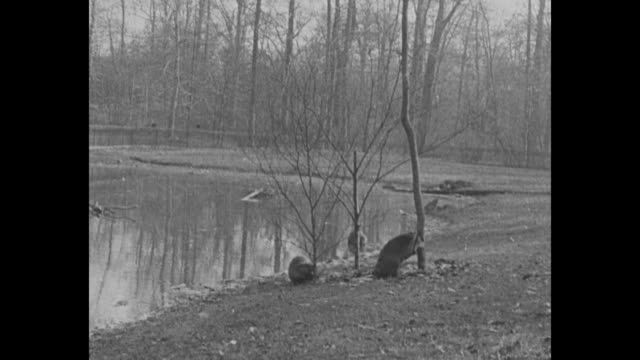 two beavers eating something spread on ground / beavers and swans / three beavers climbing out of water to eat something spread on ground / title... - beaver building dam stock videos and b-roll footage