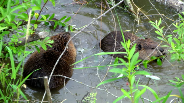 Two Beavers Eating