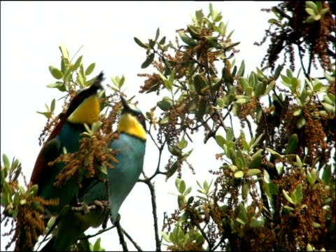 two bee eaters (merops apiaster) in tree, one passes bee prey to other sierra de andujar, sierra morena, andalucia, spain - altruismo video stock e b–roll