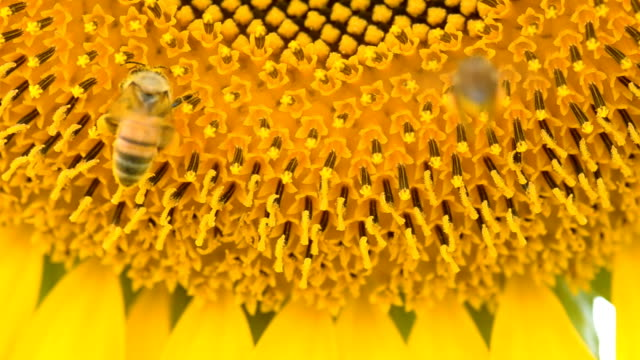 two bee fly and aim at sunflower - choice stock videos & royalty-free footage
