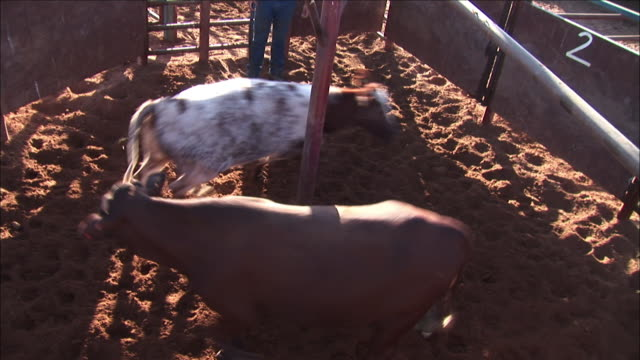 stockvideo's en b-roll-footage met two beef cows circle a pole in a pen on anna creek station. - anna creek station