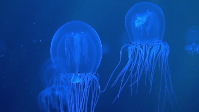 MS Two Bell Jellyfish (Polyorchis spp.) swimming in ocean / Newport, Oregon, USA