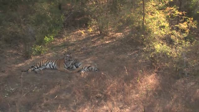 two bengal tigers lying on dry grass with another approaching. - madhya pradesh stock videos and b-roll footage