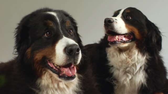 sm cu two bernese mountain dogs sitting side by side and panting / boston, massachusetts, usa - side by side stock videos & royalty-free footage