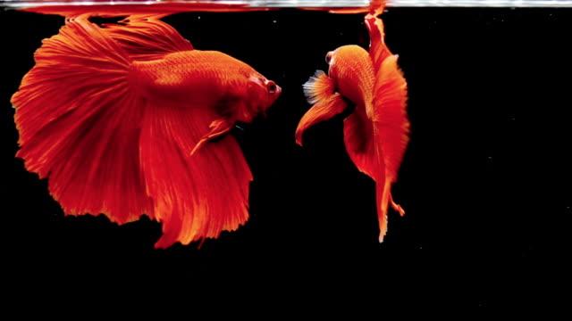 vidéos et rushes de deux poissons de betta sur le fond noir. capturez le moment émouvant des poissons de combat siamois - plan très rapproché