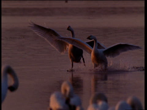 two bewick's swans land on water in unison and turn to face each other at sunset - other stock videos & royalty-free footage