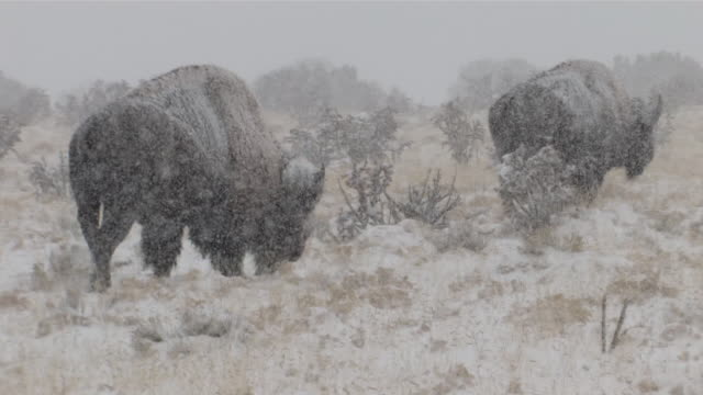 stockvideo's en b-roll-footage met ms slo mo two big horn sheep walking through snowy desert in snowing / cody, wyoming, united states - watervorm