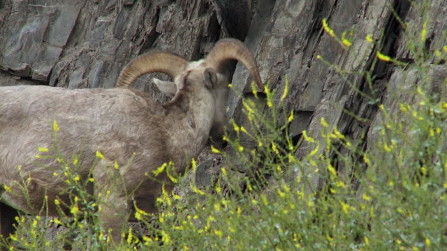 MS PAN Two Bighorn sheep (Ovis canadensis) at rocky mountain, Jasper National Park, Alberta, Canada