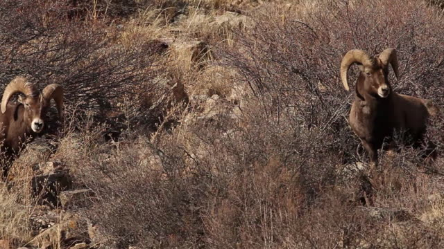 ms two bighorn sheep rams (ovis canadensis) butt heads during the november rut - bighorn sheep stock videos & royalty-free footage