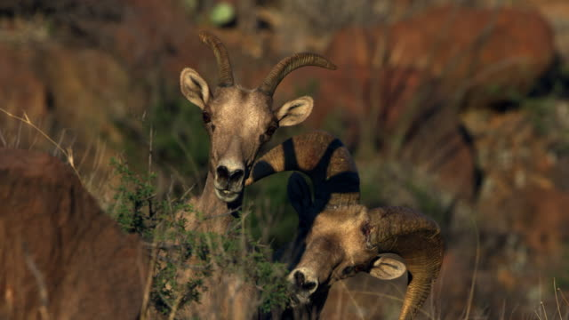 two bighorn sheep - two animals stock-videos und b-roll-filmmaterial