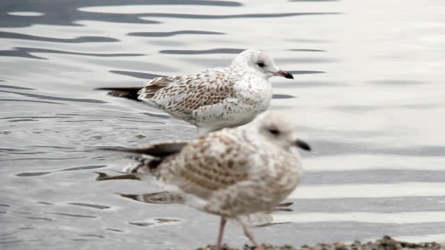 two birds in rippled water - pälsteckning bildbanksvideor och videomaterial från bakom kulisserna