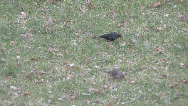 two birds in the grass 2 - hd 30f - mindre än 10 sekunder bildbanksvideor och videomaterial från bakom kulisserna