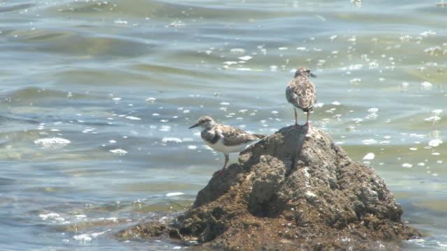 zwei vögel auf dem rock-hd-bis 30 - wasservogel stock-videos und b-roll-filmmaterial