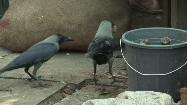 CU Two birds scavenging food scraps / Dharavi Mumbai India