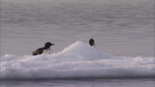 vidéos et rushes de two birds sitting on ice in the north pole - iceberg bloc de glace