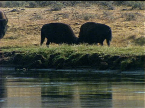 two bison spar as another bison approaches. - canada goose stock videos & royalty-free footage
