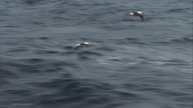 stockvideo's en b-roll-footage met ms, two black browed albatrosses flying above ocean, falkland islands - atlantische eilanden
