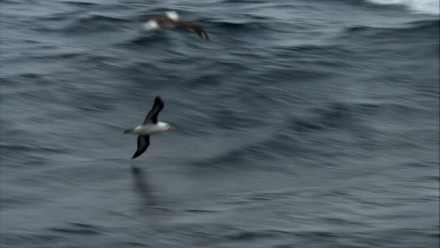 ms, two black browed albatrosses flying above ocean, falkland islands - albatross stock videos & royalty-free footage