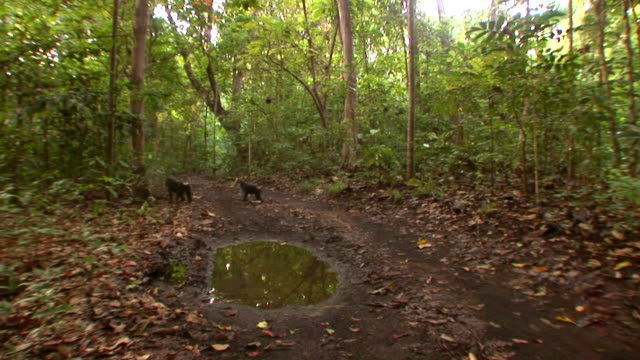 vidéos et rushes de ws two black macaques crossing track in forest / sulawesi, indonesia - petit groupe d'animaux