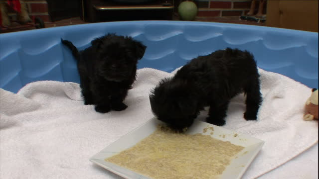 vidéos et rushes de two black puppies eat from a platter in a plastic wading pool. - pataugeoire