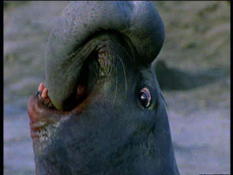 vídeos de stock e filmes b-roll de two blood stained elephant seal bulls fight on beach over females. - elefante marinho