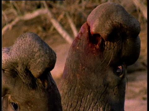 two blood-stained bull elephant seals fight over females on beach, - 攻撃的点の映像素材/bロール