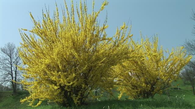 MS, ZI, CU, Two blooming Forsythia (Forsythia Vahl) shrubs, Slovenia