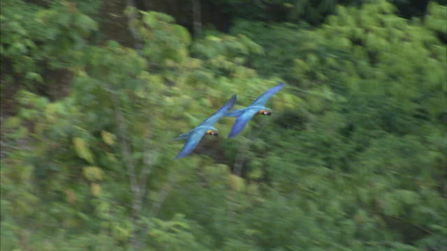 MS TS Two blue and yellow macaws flying over / ChaparrÌ_ Ecological Reserve, N/A, Peru
