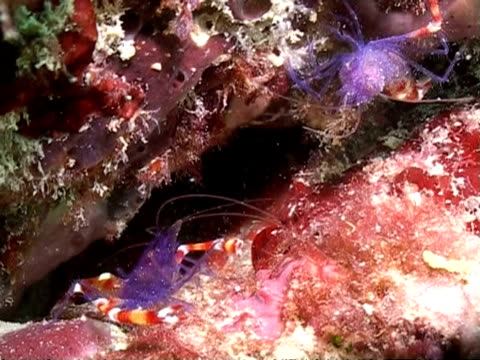 ms two blue boxer shrimps in reef crevice, fighting briefly, mabul, borneo - crevice stock videos & royalty-free footage