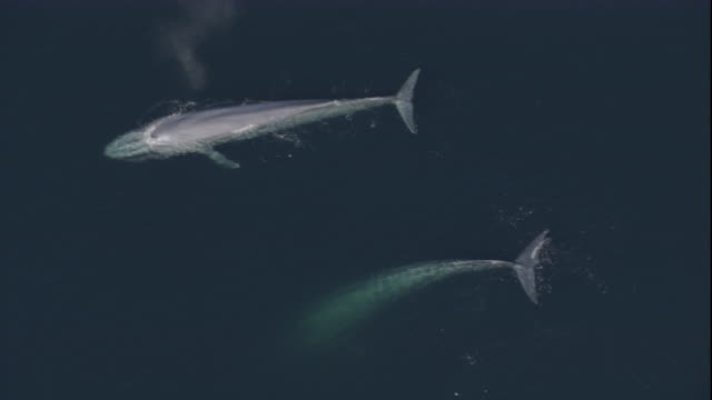 two blue whales breach the surface of the ocean and re-submerge. available in hd. - blauwal stock-videos und b-roll-filmmaterial