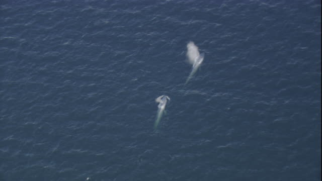 two blue whales spray water from their blowholes in the pacific ocean. available in hd. - blauwal stock-videos und b-roll-filmmaterial