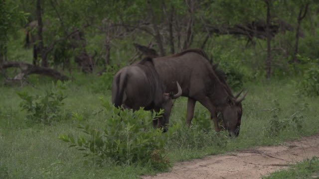 two blue wildebeest walk across a road surrounded by greenery in kruger national park, south africa - mpumalanga province stock videos and b-roll footage