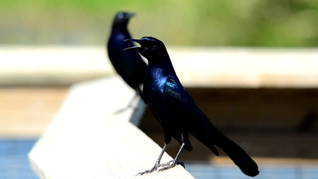 two boat-tailed grackles clucking - singing stock videos & royalty-free footage
