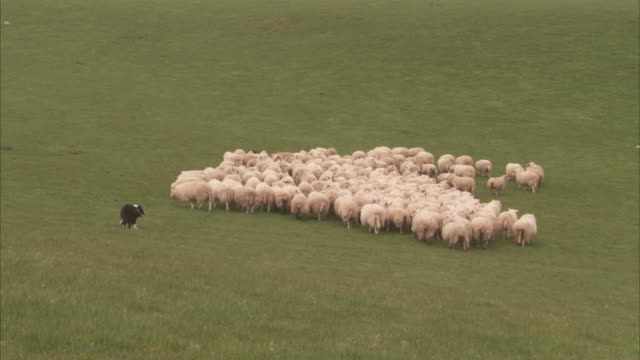 Two border collies herd a flock of sheep.