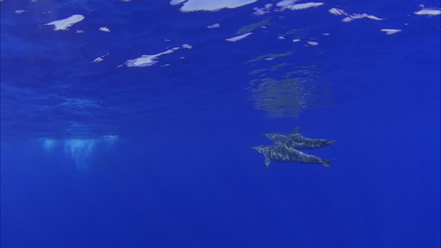 vídeos de stock, filmes e b-roll de slo mo ws two bottlenose dolphins (tursiops truncatus) swimming in ocean / moorea, tahiti, french polynesia - coordenação