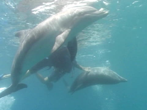 ms two bottlenose dolphins with divers in captive sea pen. red sea, egypt - tauchgerät stock-videos und b-roll-filmmaterial